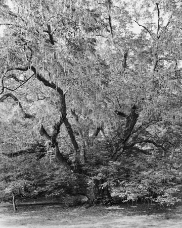Mitch Epstein, Caucasian Wingnut, Brooklyn Botanic Garden II, 2011
