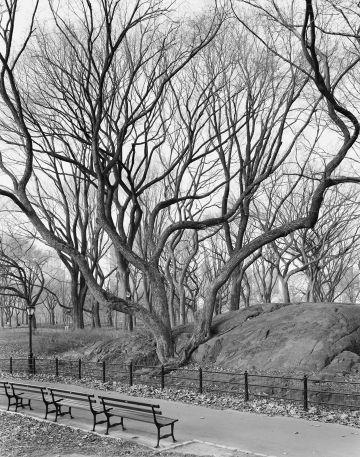 Mitch Epstein, American Elm, Central Park, New York, 2012